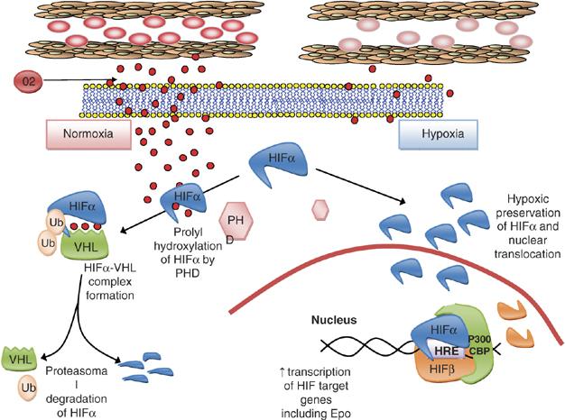 biosynthese von steroidhormonen